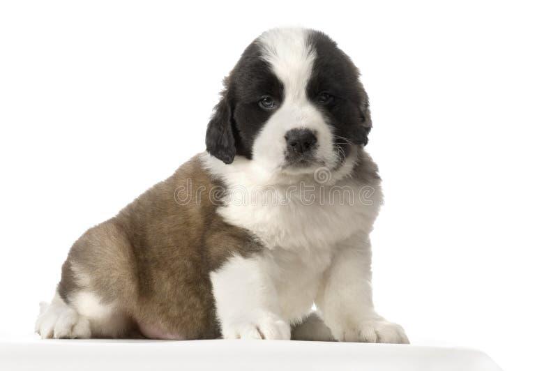 De Sint-bernard van het puppy stock fotografie