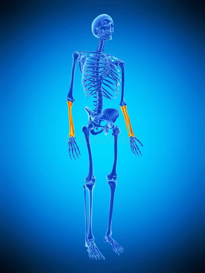 De skelett- lägre armarna vektor illustrationer