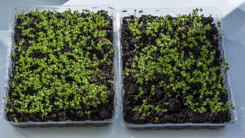 De sla groeit op de vensterbank Organisch installatie kweken-beeld stock foto