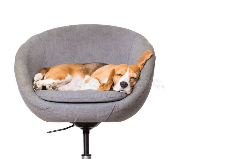 De slaap van de brakhond als voorzitter royalty-vrije stock foto's