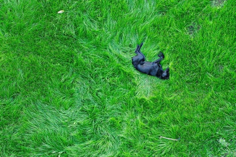 De Slaap Van De Hond Op Groen Gras Stock Foto's