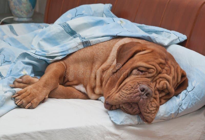 De Slaap van de hond zoet in het Bed van de Eigenaar royalty-vrije stock afbeelding