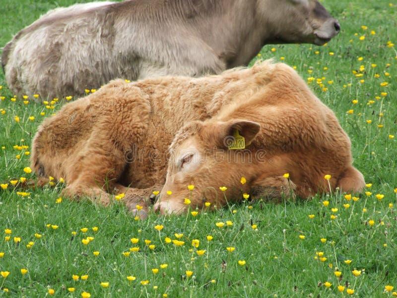 De slaap van de koe op gebied royalty-vrije stock fotografie