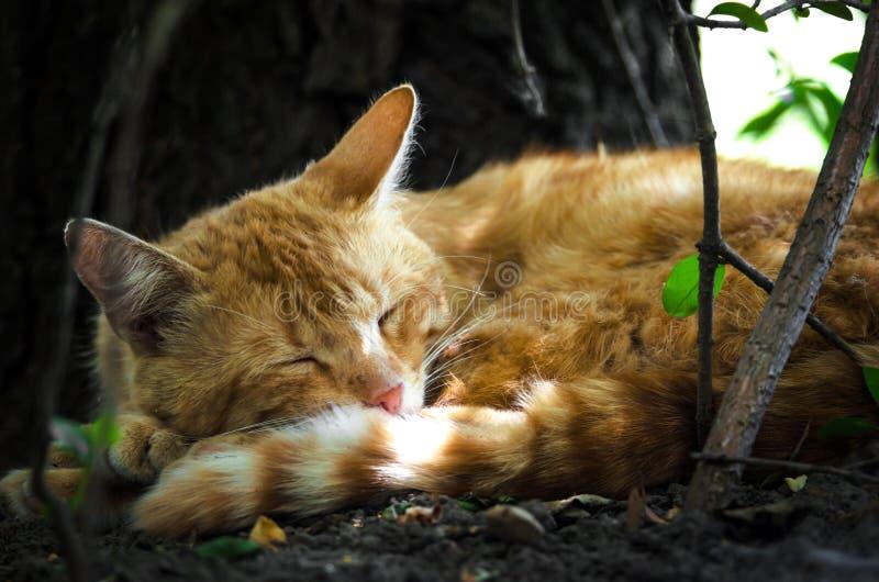 De slaap van de gemberkat onder een boom in de zon stock foto's
