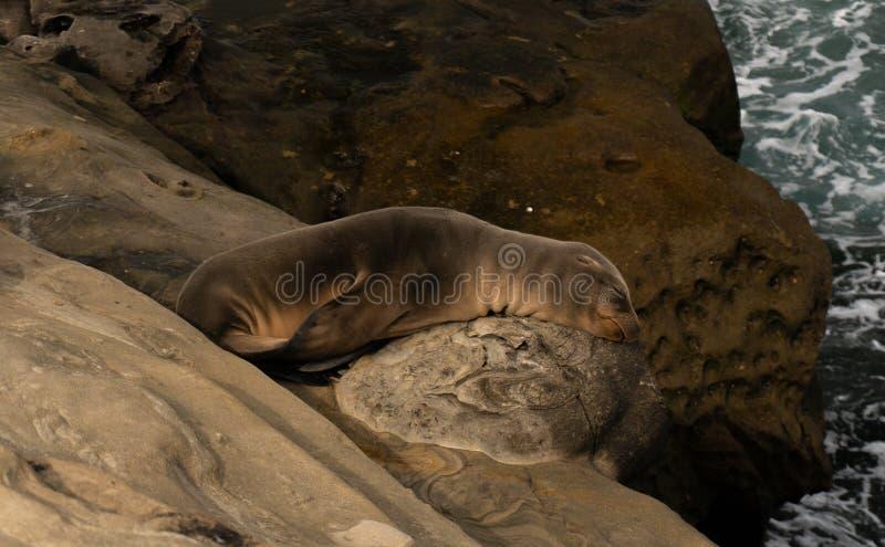 De slaap van het zeeleeuwjong op rots royalty-vrije stock foto's