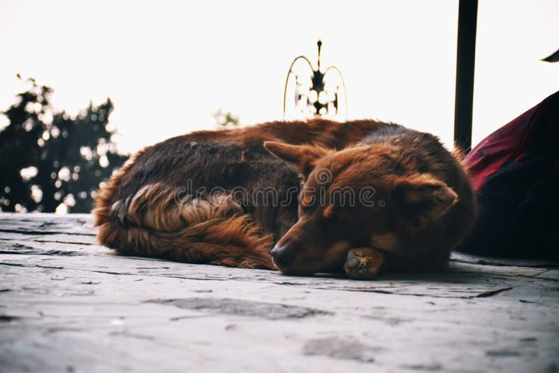 De slaap van de hond stock fotografie