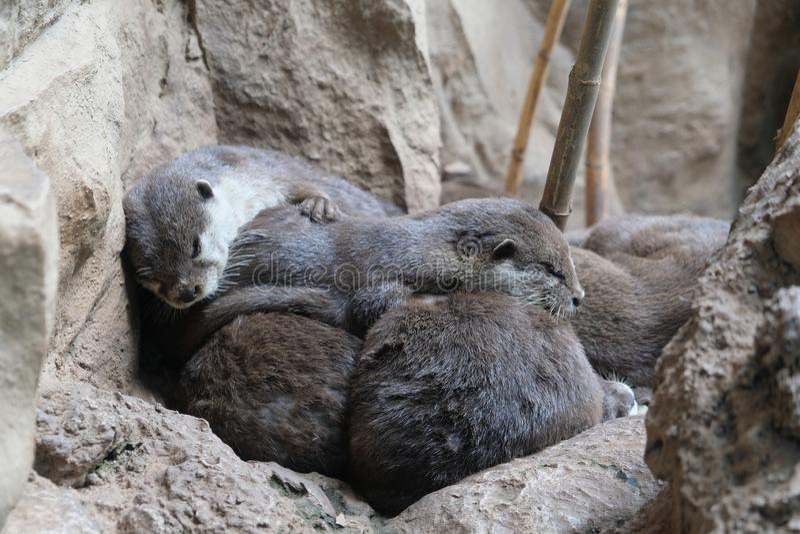 De slaap van de otterfamilie dicht bij elkaar stock afbeeldingen