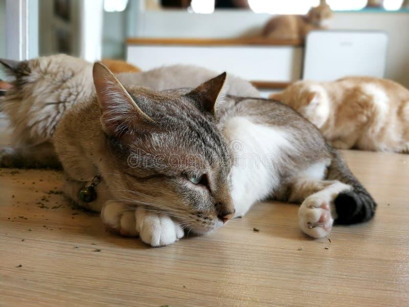 De slaapkat rust op de vloer met zijn vrienden gelukkig stock foto's