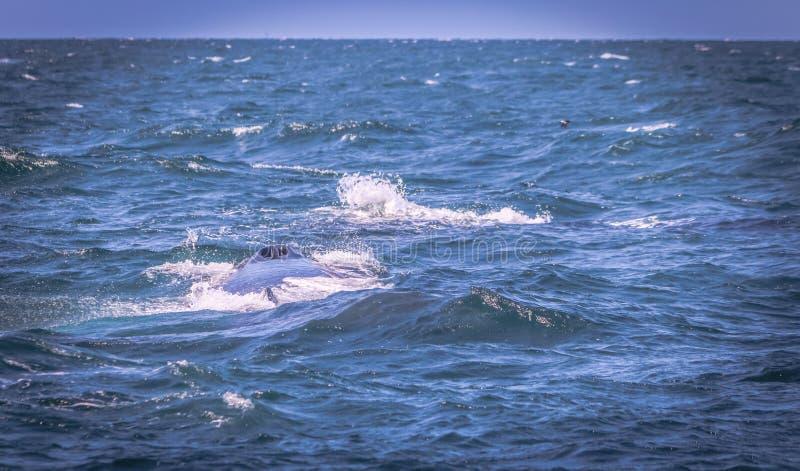 De Slaggat van de gebocheldewalvis stock afbeelding