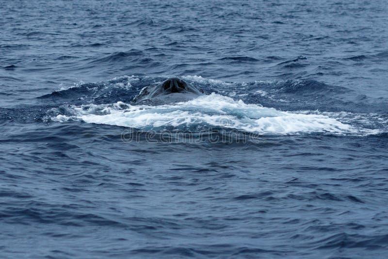 De Slaggat van de gebocheldewalvis royalty-vrije stock foto's