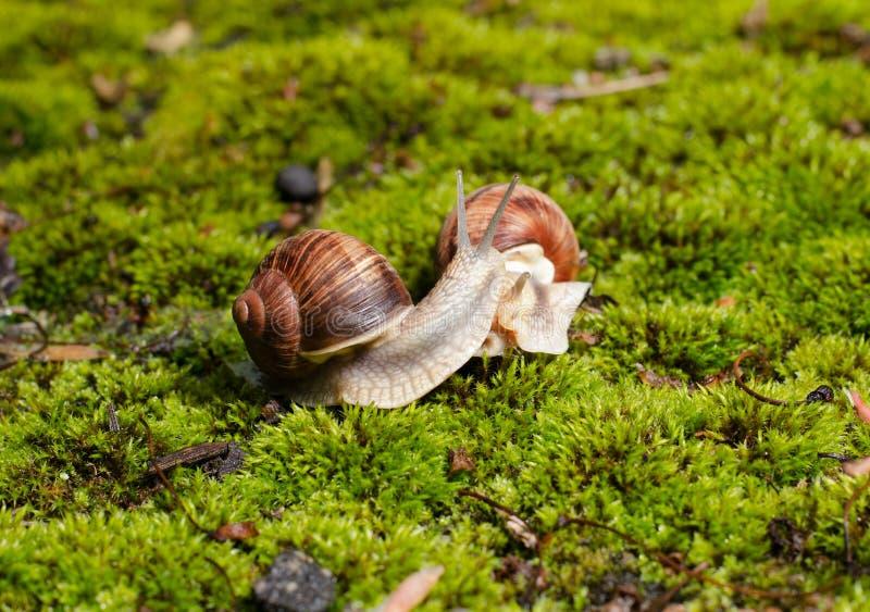 De slak van Bourgondi?, Schroefpomatia, eetbaar weekdier op het heldergroene mos stock fotografie