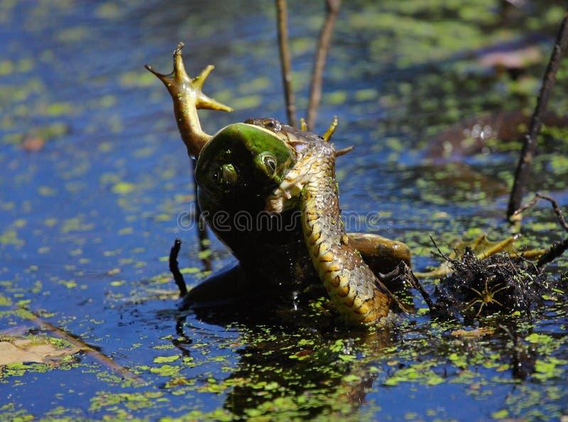 De Slang die van het water een Kikker eten stock foto