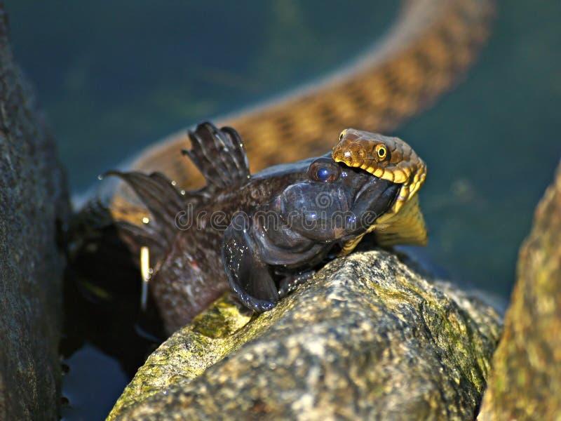 De slang met de prooi royalty-vrije stock afbeeldingen