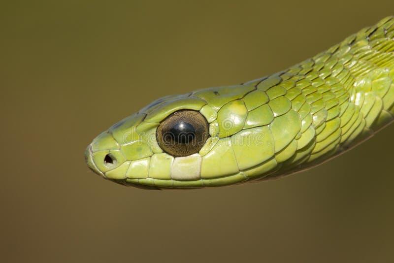 De slang van Boomslang stock fotografie