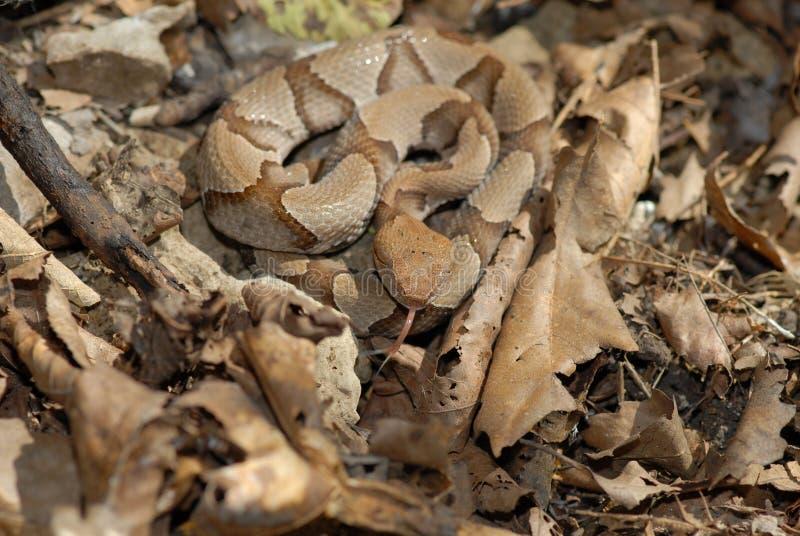 De slang van Copperhead stock fotografie