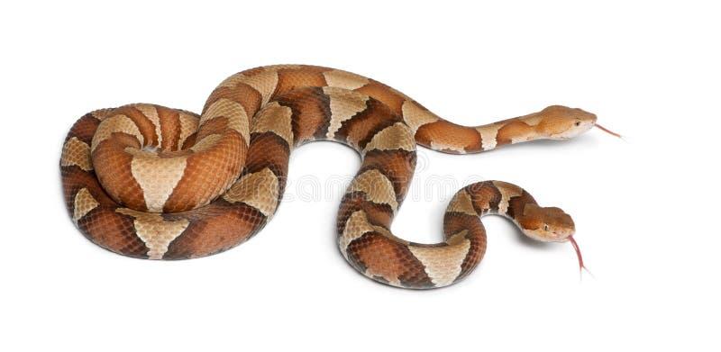 De slang van Copperhead of hooglandmocassin royalty-vrije stock fotografie