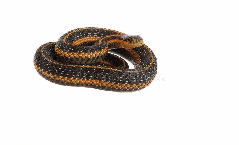De slang van de kouseband royalty-vrije stock foto's