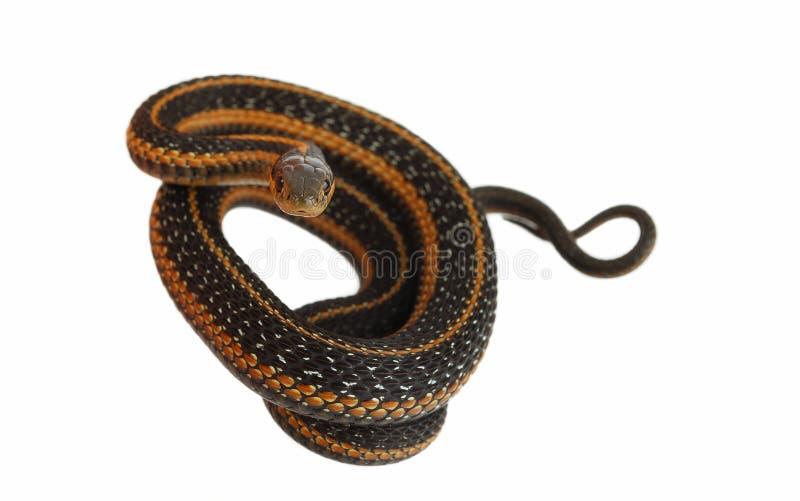 De slang van de kouseband. royalty-vrije stock foto's
