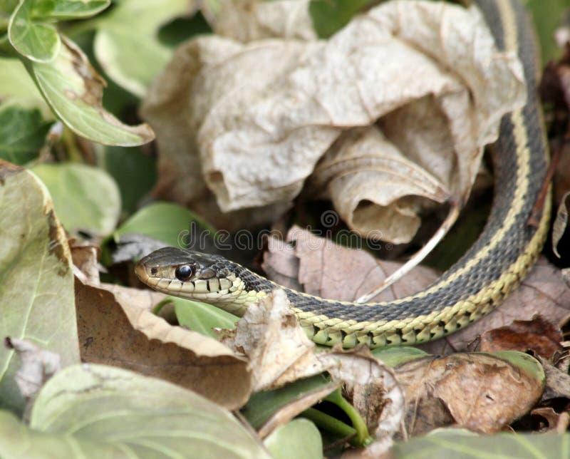De slang van de kouseband in bladeren stock afbeelding
