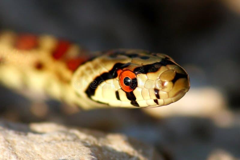 De slang van de luipaard stock afbeeldingen