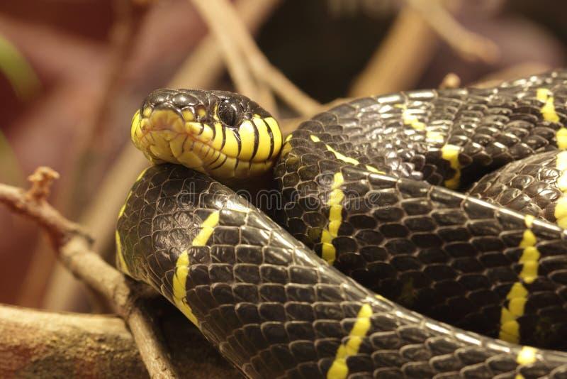 De slang van de mangrove stock afbeeldingen