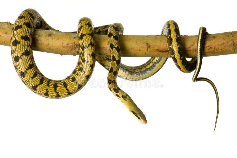 De slang van de rat royalty-vrije stock afbeelding