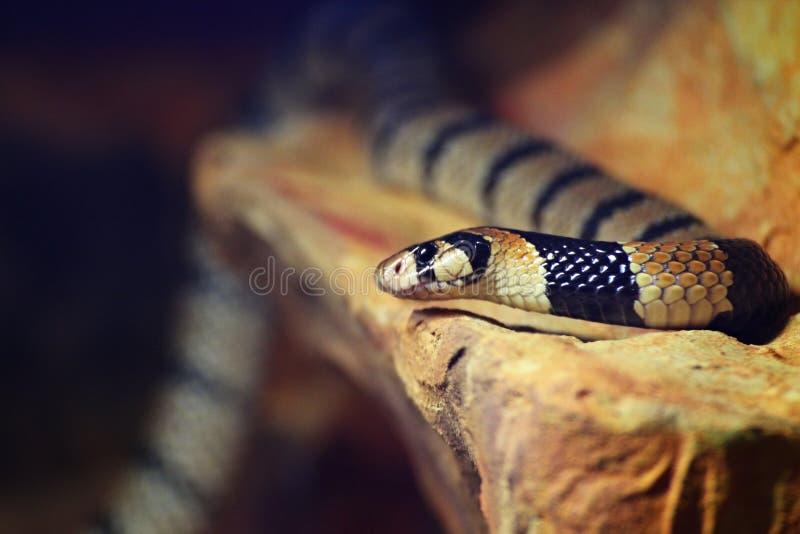 De slang van het kaapkoraal stock afbeelding