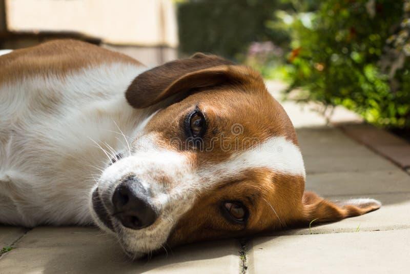 De slaperige hond neemt een rust stock foto