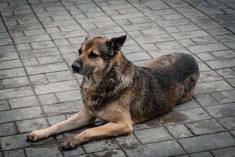 De slechte natte hond die in de vloer leggen royalty-vrije stock foto's