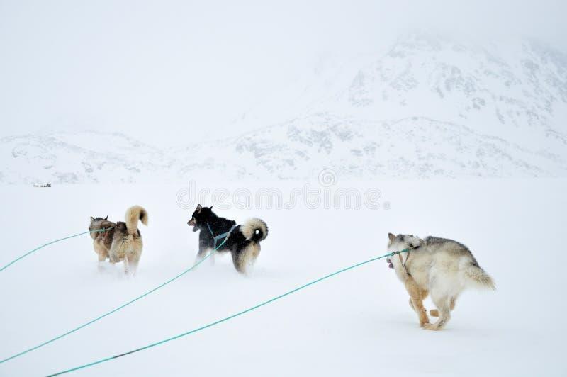 De sledging reis van de hond stock afbeeldingen