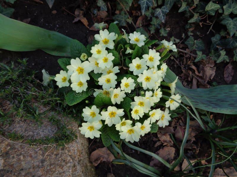 De sleutelbloem kondigt de komst van de lente aan stock foto