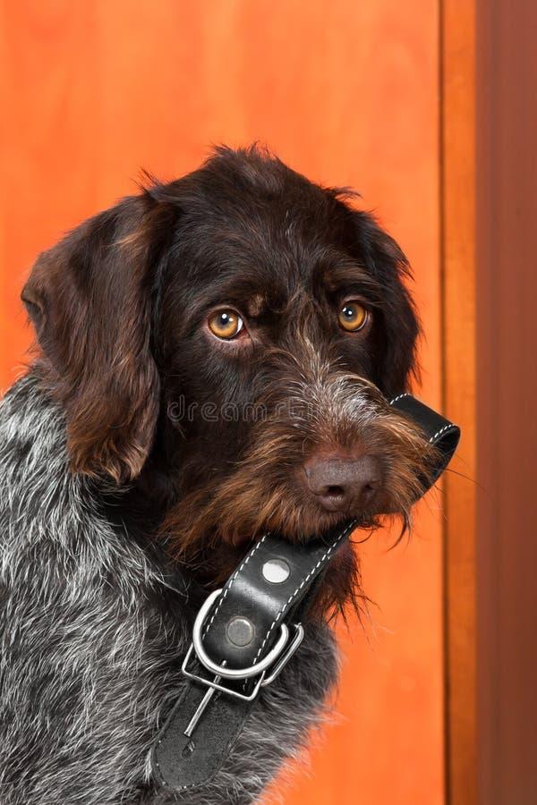 De slimme hond bracht een kraag stock fotografie