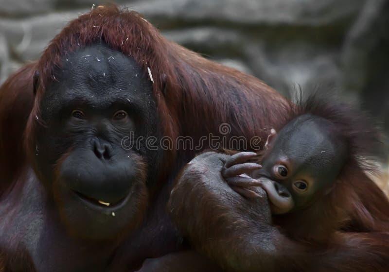 De sluwe en gebroken moeder van een orangoetan met een baby schijnt te bedelen stock afbeelding