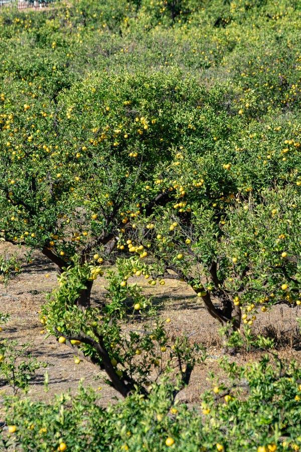 De smakelijke aanplanting van navelsinaasappelen met vele oranje citrusvruchten die op bomen, Agaete vallei, Gran Canaria, Spanje royalty-vrije stock afbeelding