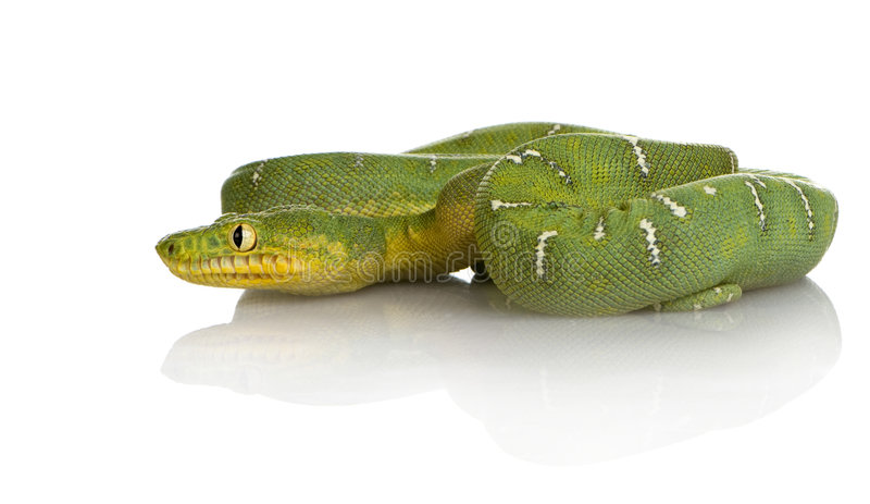 De smaragdgroene Boa van de Boom - caninus Corallus stock fotografie