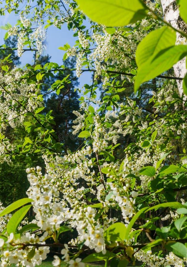 De sn?vita blommorna av h?gget mot bakgrunden av v?rgr?splaner royaltyfri foto