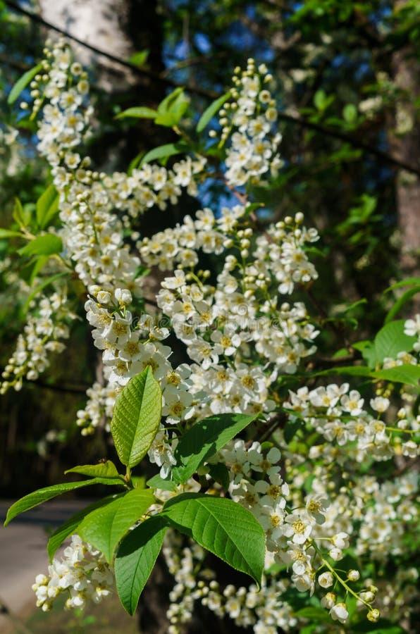 De sn?vita blommorna av h?gget mot bakgrunden av v?rgr?splaner arkivbilder