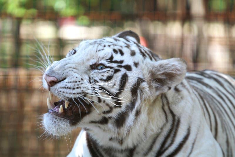 De snauwende wilde witte tijger van Bengalen royalty-vrije stock afbeelding
