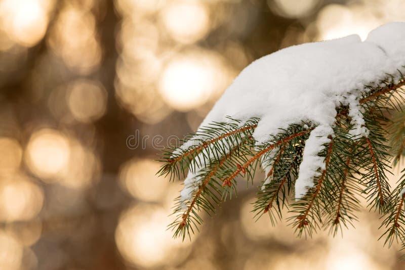 De sneeuw behandelde tak van de pijnboomboom tijdens zonsondergang stock afbeelding
