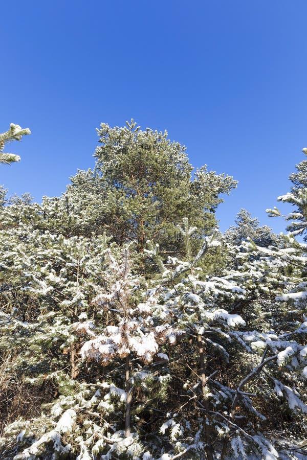 de sneeuw behandelde takken en een boomstam met pijnboomnaalden in de wintersneeuwval, close-ups en details van een bos in aard stock afbeelding