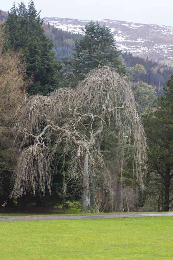 De sneeuw bestrooide bergen en een mooie witte het Huilen Wilg in Tullymore Forest Park voegt rente aan de winter toe landscap stock foto