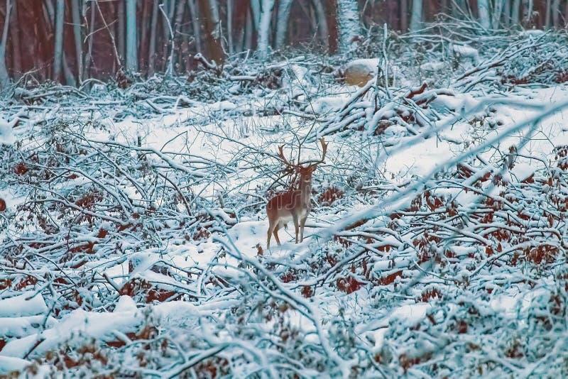 De sneeuw boslandschap Dama Dama van de damhertenbok royalty-vrije stock foto's
