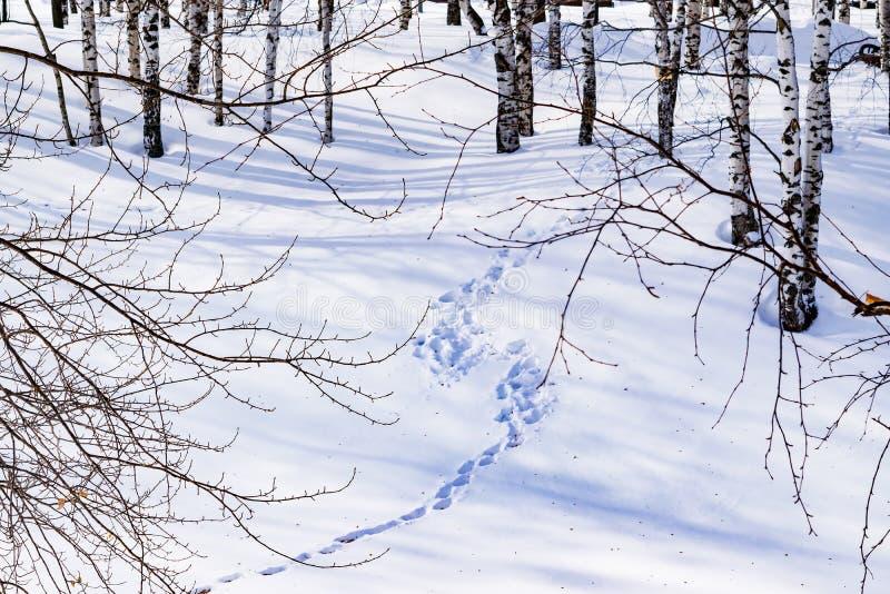 De sneeuw drijft met een betreden die weg af, na sneeuwstorm in een natuurlijk berkbos wordt geschetst met grote schaduwen van bo stock afbeeldingen