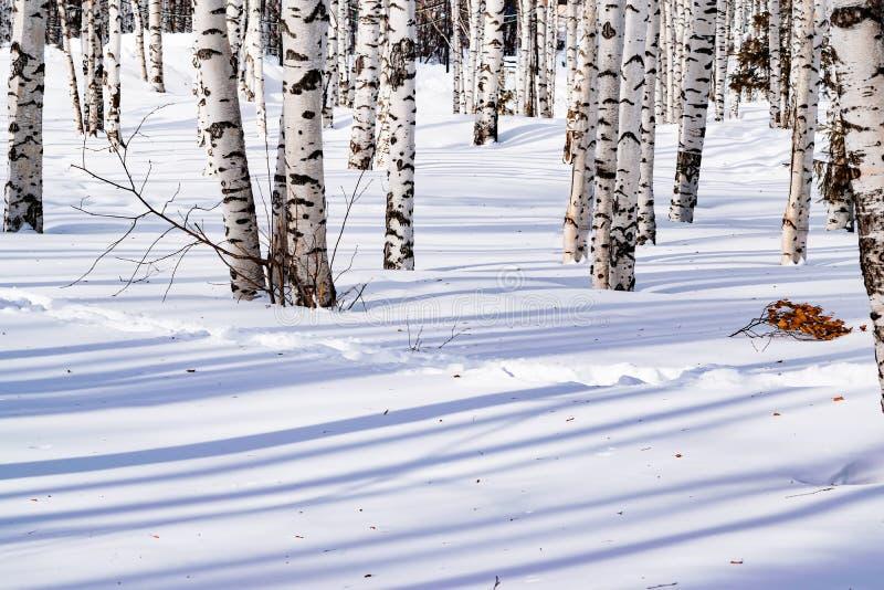 De sneeuw drijft met een betreden die weg af, na sneeuwstorm in een natuurlijk berkbos wordt geschetst met grote schaduwen van bo stock fotografie