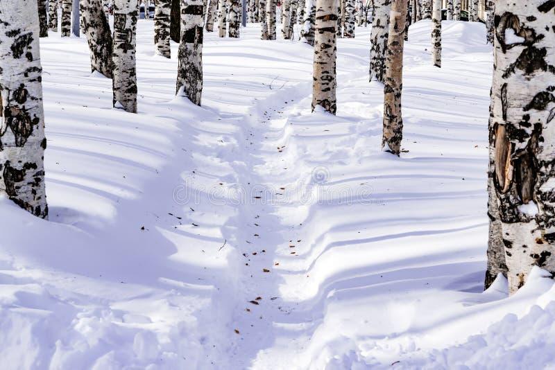 De sneeuw drijft met een betreden die weg af, na sneeuwstorm in een natuurlijk berkbos wordt geschetst met grote schaduwen van bo royalty-vrije stock afbeelding