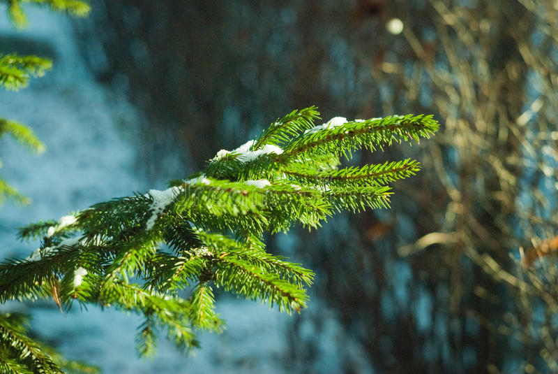 De sneeuw ligt op een sparrentak in een zonnige dag stock fotografie