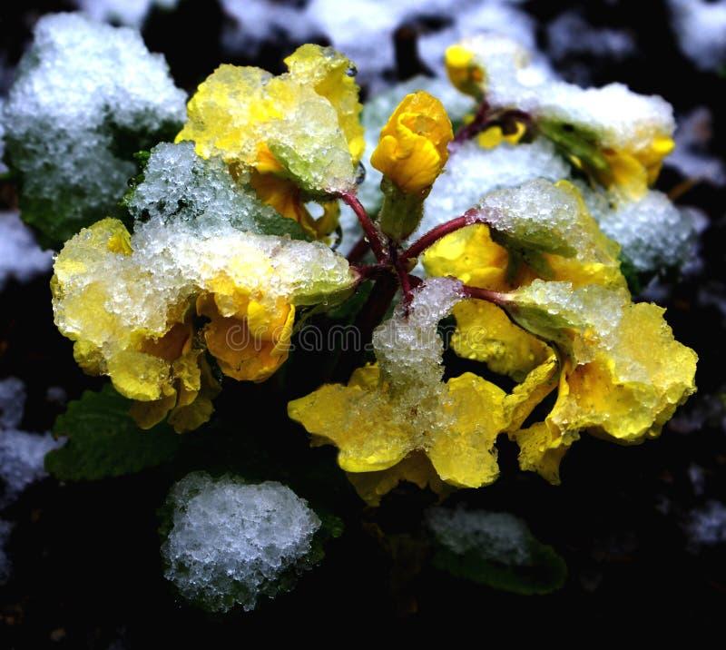 De sneeuw van de lente op gele sleutelbloem royalty-vrije stock fotografie