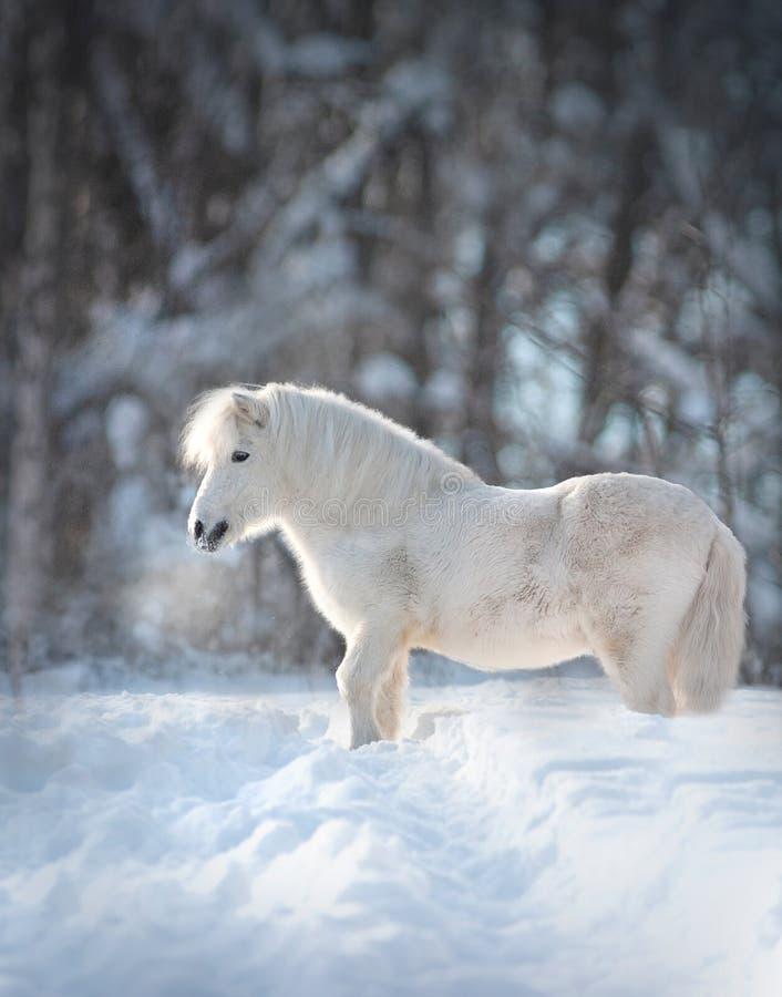 De sneeuw witte leuke pluizige close-up van het poneyportret met de winter erachter achtergrond royalty-vrije stock fotografie