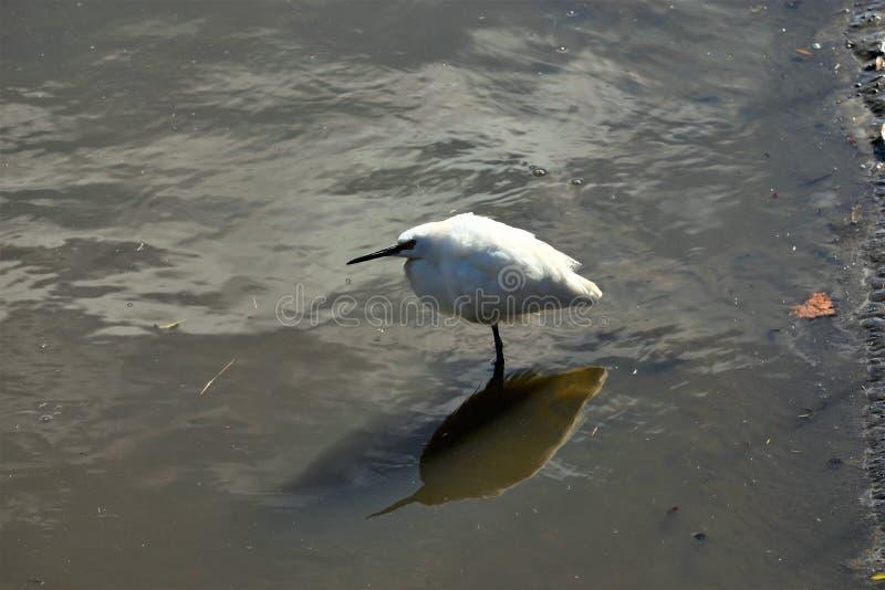 De sneeuwaigrette wacht geduldig op een andere verse vangst langs de moeraswaterweg royalty-vrije stock fotografie