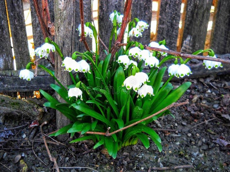 de sneeuwklokjeslente dichtbij een omheining deze gevoelige bloem symboliseert het begin van de lente stock afbeeldingen